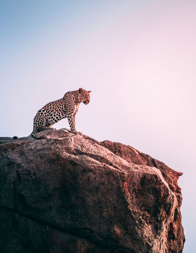 EyeEm Selects Leopard Cheetah Safari Animals Feline Wilderness Area Endangered Species Animals Hunting Sky