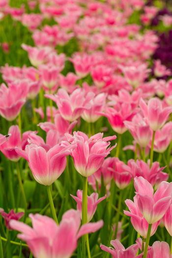 Tulips🌷 Flower Plant Beauty In Nature Flowering Plant Pink Color Vulnerability  Freshness Petal Fragility Growth Close-up Inflorescence Flower Head Nature Botany No People Day Field Land Outdoors Flowerbed