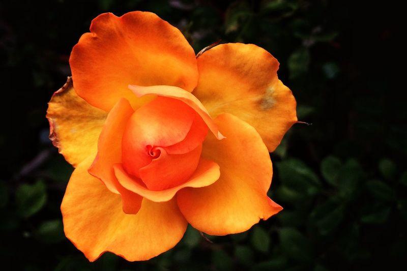 Rose EyeEm Flower IPhoneography Plants Flower Rosé