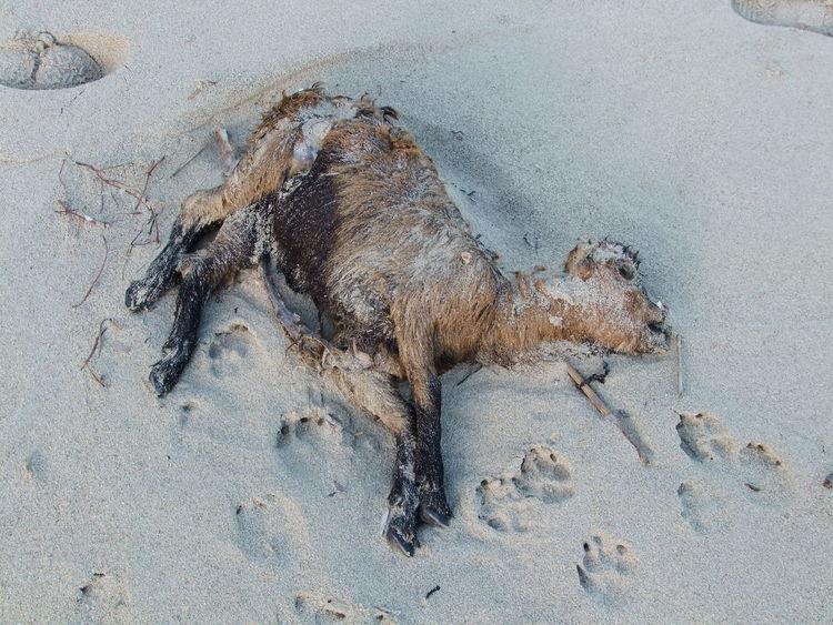 Dead goat at Mallorca beach Baleares Cadaver Close-up Dead Dead Animal Death Decay Goat Mallorca Mallorcaisland Nature Outdoors Putrefaction Sand Shore SPAIN