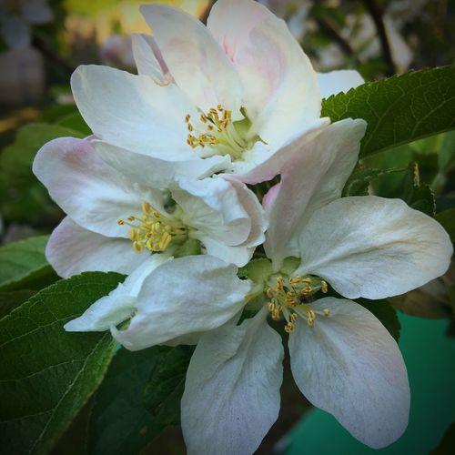 Flower Springtime Apple Blossom IPhone Photography