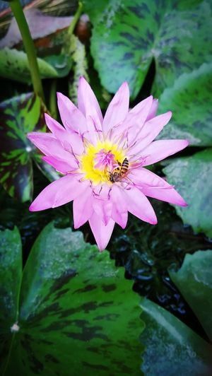 Close-up of insect on purple water lily