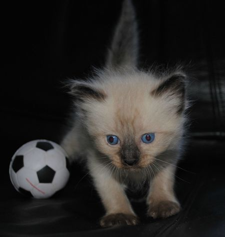 """Gordo"" Animal Themes Close-up Cute Domestic Cat Focus On Foreground Animal Head  Adorable Beautiful Kittenlovers Kitten Adorable Kitten 🐱 Kittenoftheday Showcase April Android Photography Kitty Cat Kitty Selective Focus Beautiful Animals  Feline Front View Indoors  Looking At Camera Mammal Pets Soccer⚽"