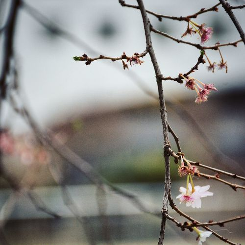 Spring is coming. Bare Tree Bloom Blooming Blossom Branch Change Close-up Dry Flowers Focus On Foreground Growing Growth Leaf Nature New New Life Pink Flower Springtime Start Of Spring Stem Twig