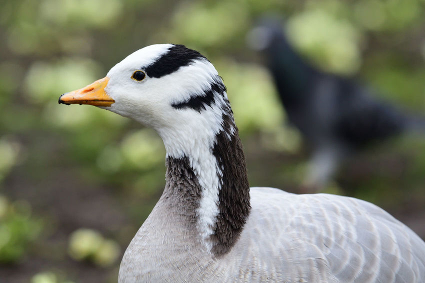 Animals In The Wild Bar Headed Goose, Check This Out EyeEm Best Shots EyeEm Nature Lover Nature Nature Photography Taking Photos Animal Themes Animal Wildlife Beauty In Nature Bird Birds Close-up Day Focus On Foreground Goose Headshot Nature_collection No People One Animal Outdoors Portrait Selective Focus Water Bird