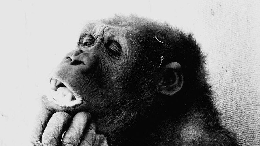 Close-up of gorilla