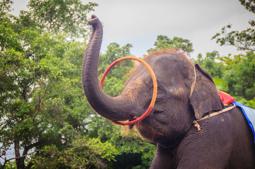 Little elephant use his trunk to play hula hoop Hula Hoop Happiness Hula Hoop Tricks Hula Hoopla Hula Hoops Young Elephant Elephant Elephant Calf Elephant Show Elephant ♥ Hula Hoop Hula Hoop Dancer Hula Hooping  Hula Hooping Fun Hula Hoops In Motion