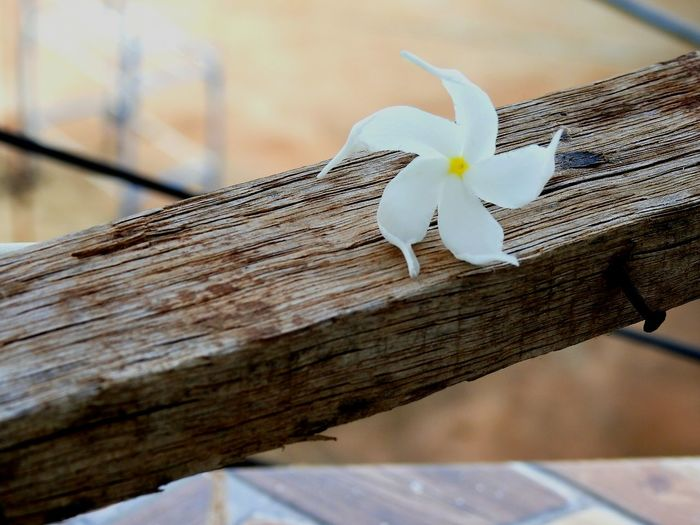 Selective Focus Day No People Flower Flowers, Nature And Beauty Blossom Beauty Star Flower White Flower White Star Flower