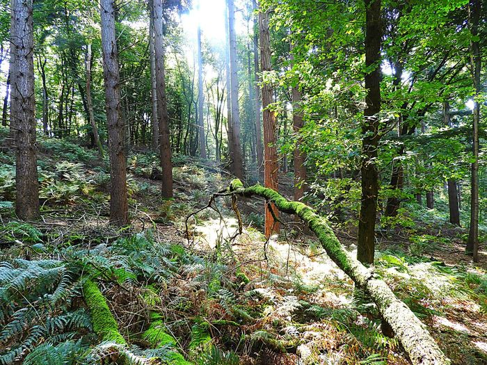 Light In The Forest Tree Forest Nature Tranquility Scenics Tranquil Scene Outdoors Beauty In Nature WoodLand Tree Trunk Travel Destinations No People Landscape Day Growth Pinaceae Wilderness Area Plant Tree Area Branch