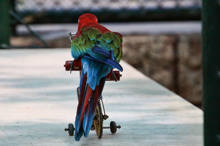 Rear View Of Red-and-green Macaw On Toy Bicycle