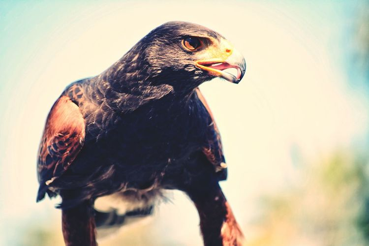 Eagle Bird Of