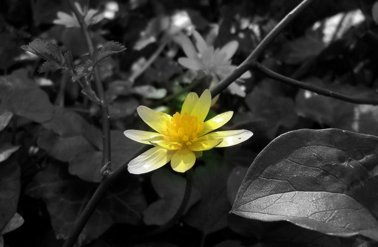 Black & White Foret Noir Et Blanc Beauty In Nature Black And White Flower Flower Head Forest Jaune🌻 Leaf Nature No People Petal Yellow Paint The Town Yellow
