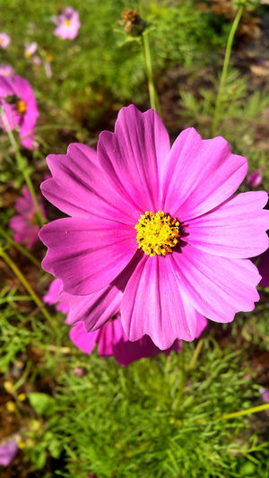 Sulfur Cosmos Pink Beauty In Nature Flower Flowering Plant Nature No People Pink Color Plant Sulfur Cosmos