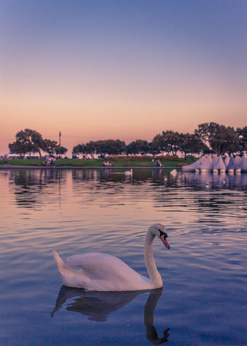 Portsmouth Animal Animal Themes Animal Wildlife Animals In The Wild Architecture Bird Built Structure Floating On Water Group Of Animals Lake Nature No People Outdoors Reflection Sky Southsea Sunset Swan Swimming Vertebrate Water Waterfront