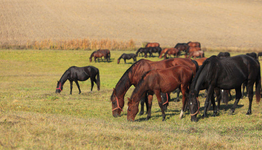 Herd of horses Grazing Grazing Horse Animal Themes Animal Wildlife Animals In The Wild Field Grass Grazing Animals Herd Herd Of Horses Horse Landscape Large Group Of Animals Mammal Nature Outdoors