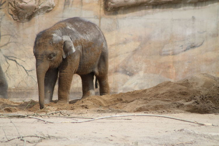 View of elephant in sand