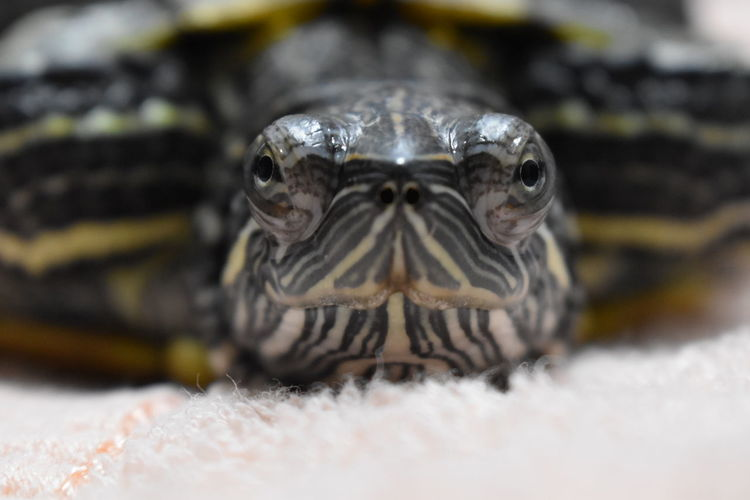 Best companion Red-eared Slider Animal Themes One Animal Animal Animal Wildlife Close-up Reptile Animal Body Part Animals In The Wild Animal Head  Vertebrate Portrait Turtle Selective Focus Eye Looking At Camera No People Front View Animal Eye Day Animal Mouth Animal Scale