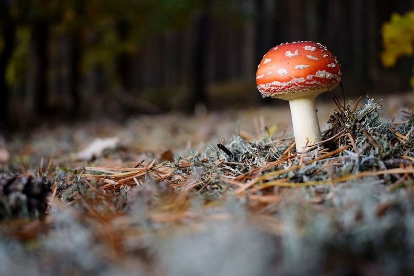 Nikon Nikonphotography Nikond3300 Pgotography Photographer Polishphotographer Poland Poison Needles Down EyeEm Selects Mushroom Fungus Nature Forest Fly Agaric Mushroom Toadstool Growth Red Outdoors Beauty In Nature No People Day Grass Fly Agaric Close-up