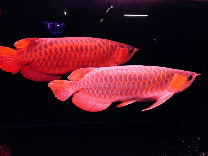 Fish Fish Market Red Beauty In Nature Black Background Beautifully Organized Red Color Fishes Fishing Time Market Animal Themes Animal Wildlife Animal Photography Animal Love Animals In The Wild Sea Life Golden Gold Fish Arowana Arowana Fish Dragonfly Dragon