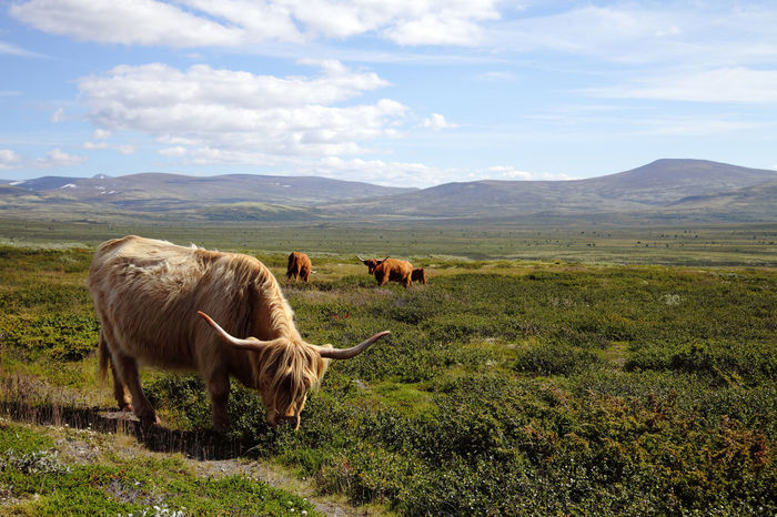 highland cattle in norway Landscape_Collection Nature Norway Scandinavia Animal Themes Beauty In Nature Cattle Cow Cows Day Domestic Animals Farm Animal Field Fjell Grazing Highland Cattle Highlands Landscape Livestock Mammal Mountain Nature No People Outdoors Scenery