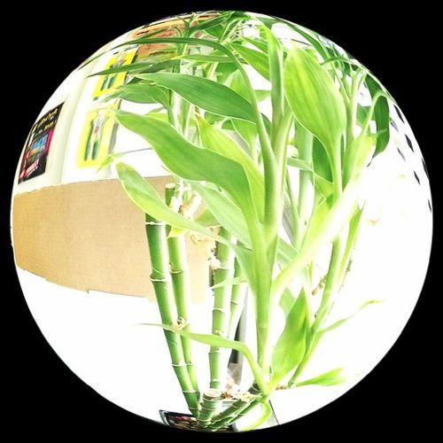 Fisheye bamboo. Bamboo Moneytree Surelygrow Plants hydroponics hydroculture organics gardening goodluck fisheye