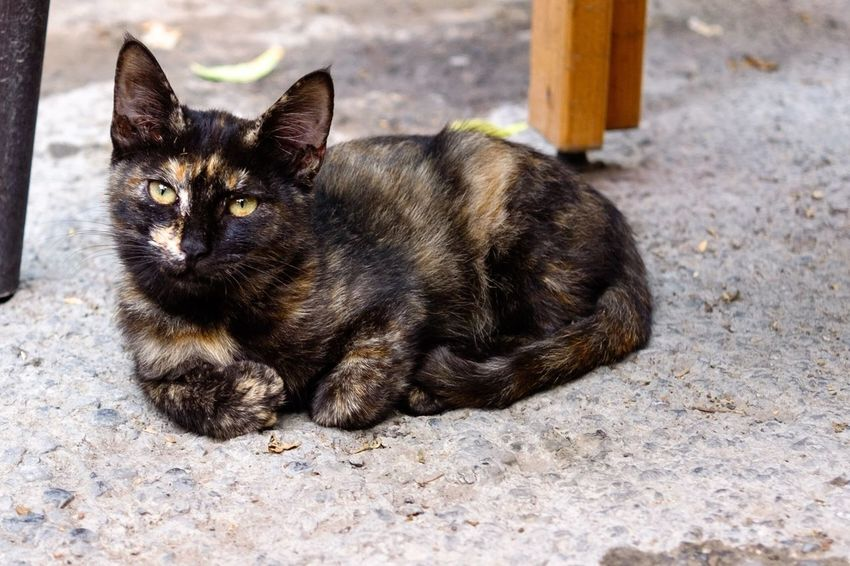 Pets Animal Themes One Animal Domestic Cat Looking At Camera Portrait No People Close-up Outdoors Domestic Animals Mammal Full Length Day Traveling Eye4photography  Tourist The Week Of Eyeem Cyprus Cat Streetphotography Streetcat Cute Cute Pets Cute Cats Feline