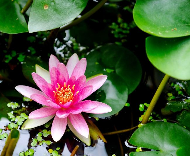 Water lily... Water Lily Flower Flowering Plant Leaf Plant Plant Part Growth Pink Color Freshness Beauty In Nature Water Fragility Flower Head Close-up No People