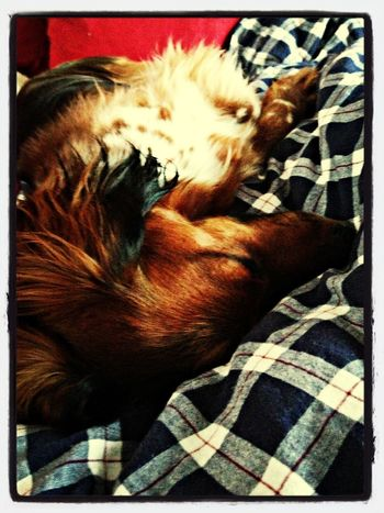 Falling Asleep Dachshund Doxie PaulPaulinger