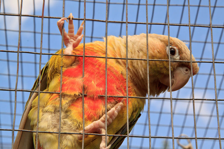 Pineapple green cheek conure in aviary Zoo Animal Aviary Bird Birdcage Cage Captivity Confined  Conure Curious Domestic Enclosure Feathered Friend Green Cheek Mammal Parakeet Parrot Pet Pets Sky Sunlight Trapped Wildlife Wire