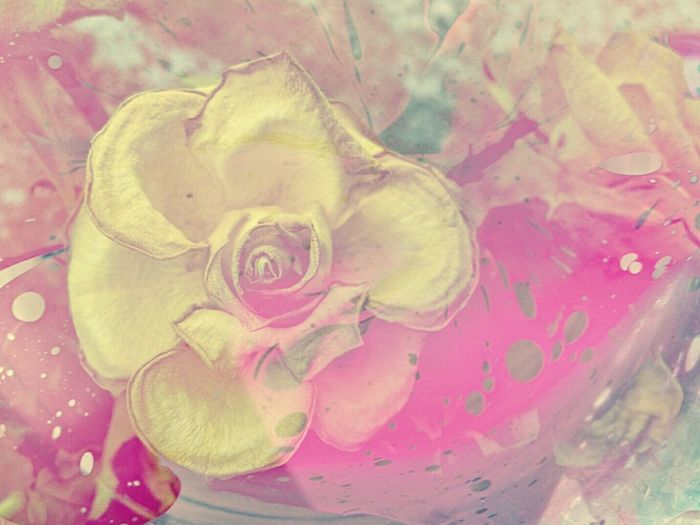 Abstract Flower Petal Freshness Fragility Close-up Rose - Flower Flower Head Water Indoors  Beauty In Nature Pink Color Drop Nature Rosé In Bloom Blossom Springtime Purity Single Flower Extreme Close-up Neon Pink