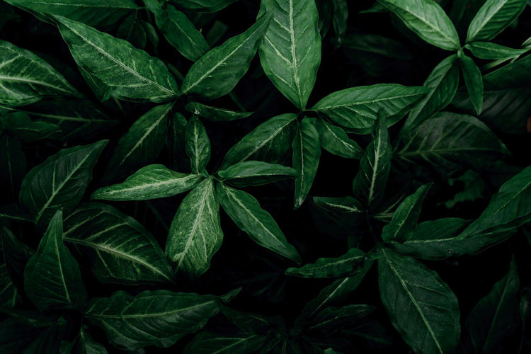 Dark green leaves in the garden. emerald green leaf texture. nature abstract background. tropical.