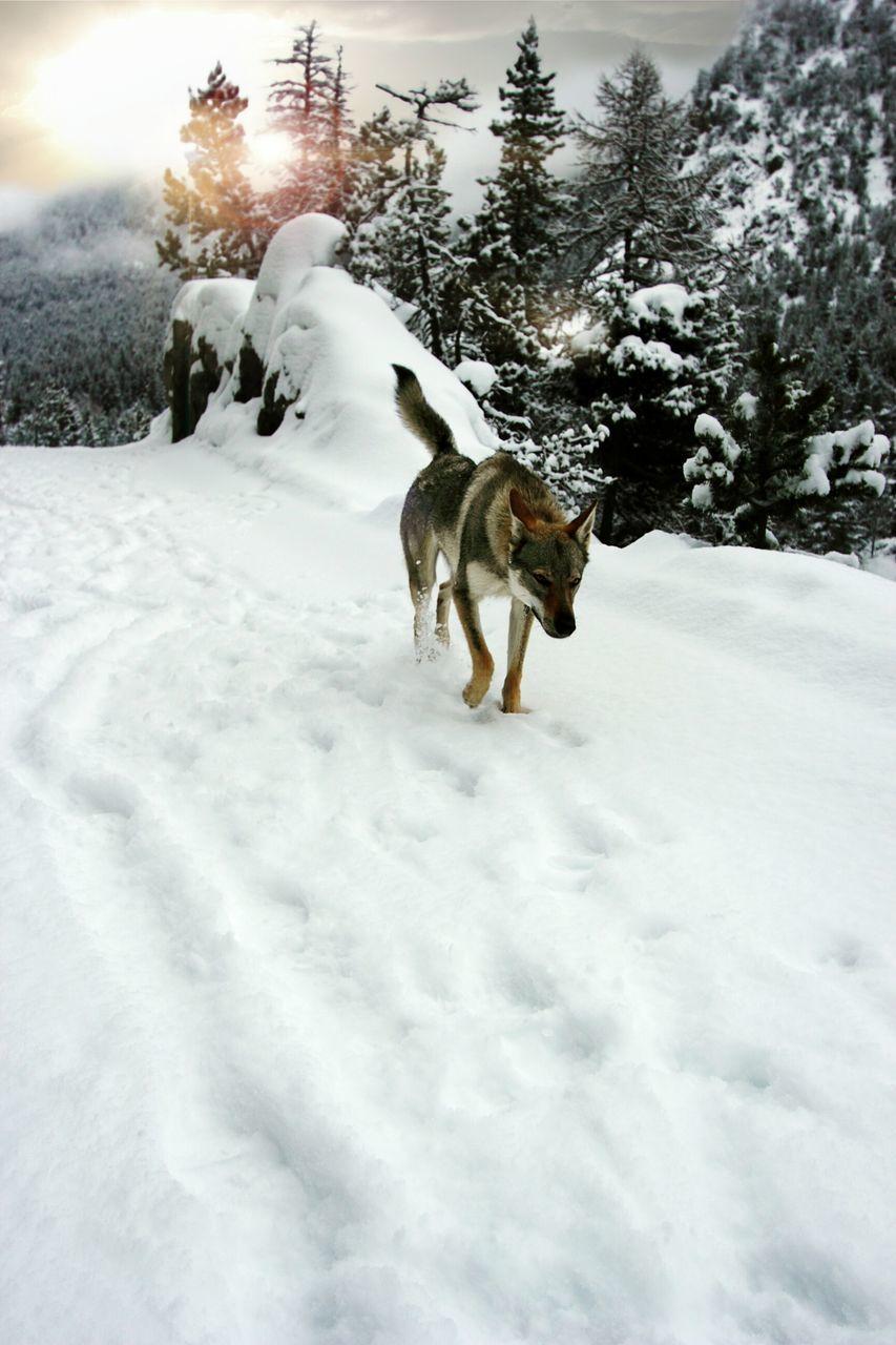 Dog Walking On Snow Field