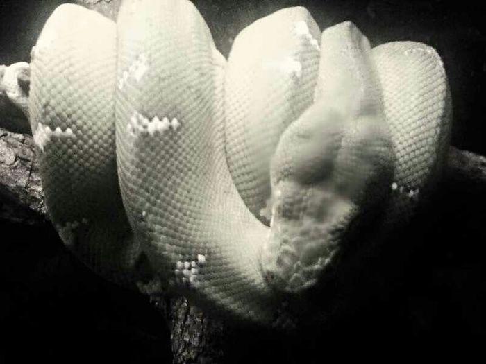 Wildlofe Snake Reptile Caldwellzoo