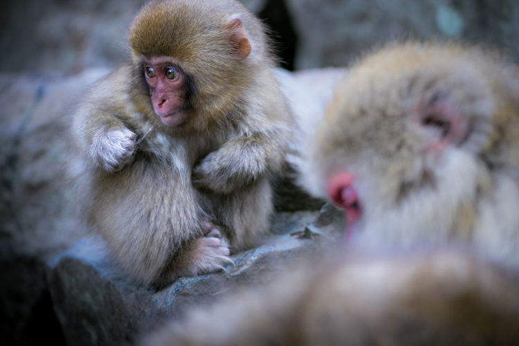 Close-Up Of Japanese Macaques