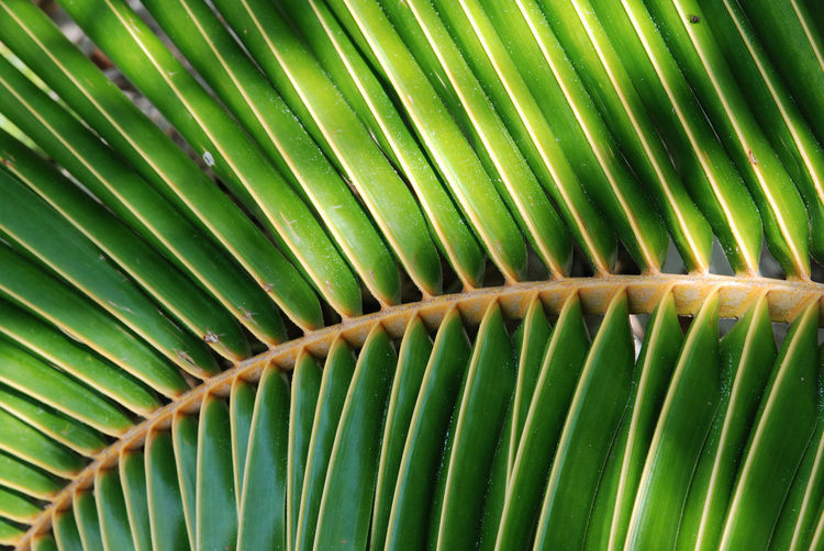 Tropical leaf Asian  Backgrounds Close-up Colorful Day Frond Green Color Greenery Greenery Scenery Leaf Nature No People Outdoors Palm Plants Rays Sunny Tree Tropical Tropical Plants