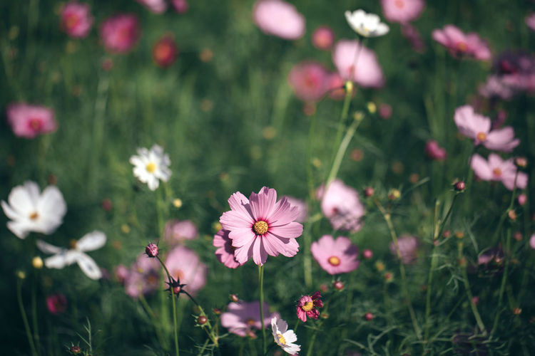 Cosmos Cosmos Flower Cosmos Field Flower Flowering Plant Plant Fragility Beauty In Nature Petal Growth Flower Head Inflorescence Nature Land Field Pink Color Day Focus On Foreground Outdoors Pollen Springtime Wallpaper Wallpaper Background Backgrounds Background