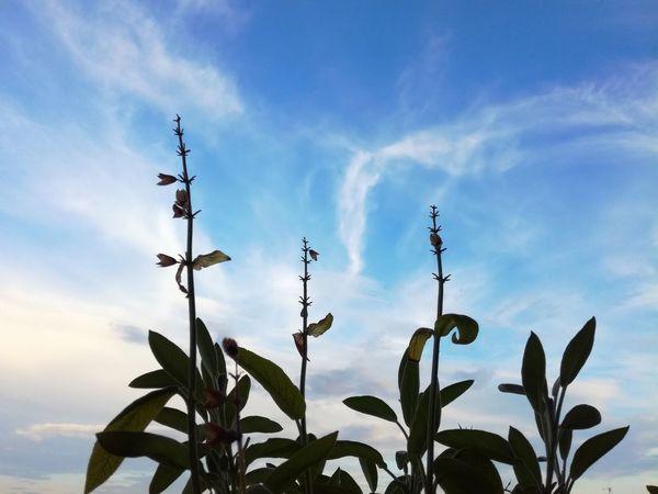 (handypic)Sky over Connewitz , Leipzig Salvia Sage Salbei Plant Cloud - Sky Growth Day Nature Sky Clouds And Sky Growth Salvia Flowers Tea Balkony Outdoors Lookingup Evening Sky Leipzigliebe Connewitz, Kreuz Balkonyview Balkonflora Leaf No People
