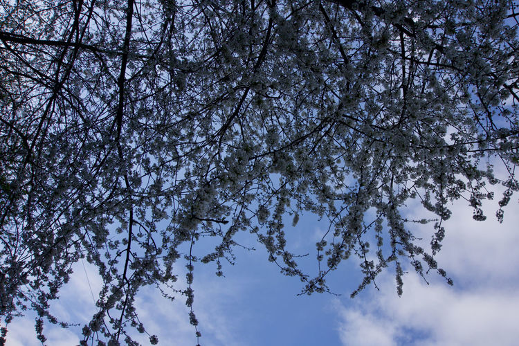 white tree blossom under blue sky Manchester Day Tree Plant Sky Low Angle View Branch Beauty In Nature Nature Growth No People Tranquility Cloud - Sky White Color Blue Springtime Blossom Outdoors Flower Fragility Scenics - Nature Cherry Blossom Cherry Tree Directly Below Tree Canopy  Spring