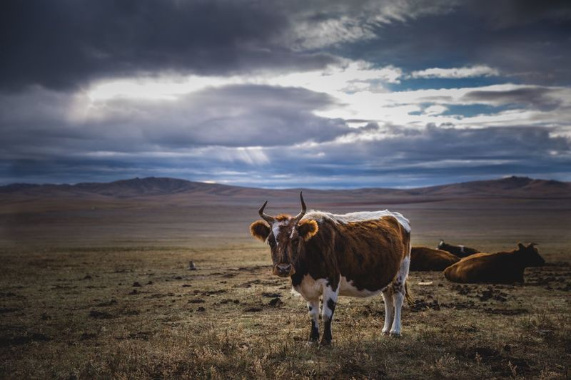 Cows on landscape against cloudy sky