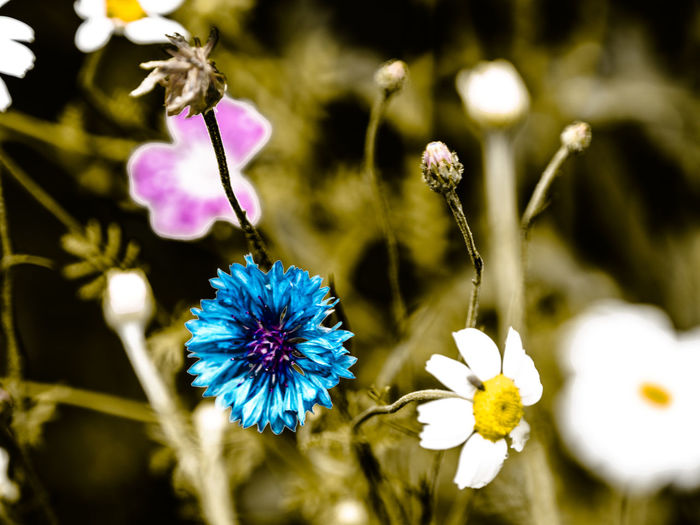 wildflowers Beauty In Nature Botany Close-up Day Flower Flower Head Flowering Plant Focus On Foreground Fragility Freshness Growth Inflorescence Nature No People Outdoors Petal Plant Plant Stem Pollen Purple Selective Focus Vulnerability