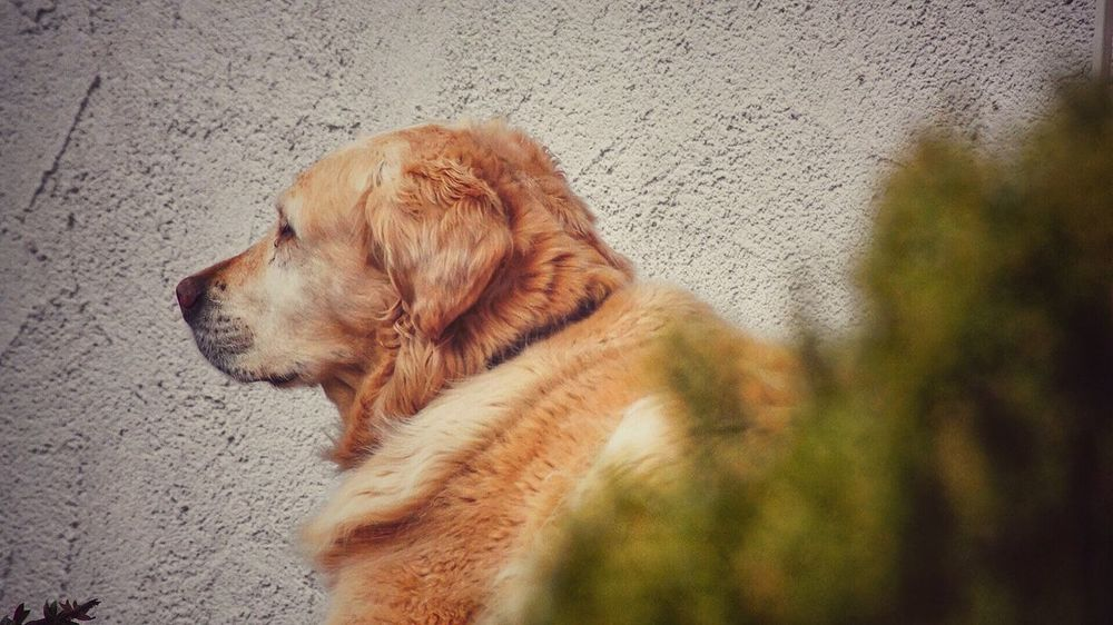 Dog Pets One Animal Domestic Animals Animal Themes Mammal No People Day Beagle Indoors  Close-up