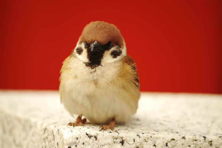 Perspectives On Nature Animal Wildlife Animal Themes One Animal Bird Animals In The Wild Cute Young Bird Penguin Close-up No People Young Animal Full Length Indoors  Day Nature Mammal Sparrow