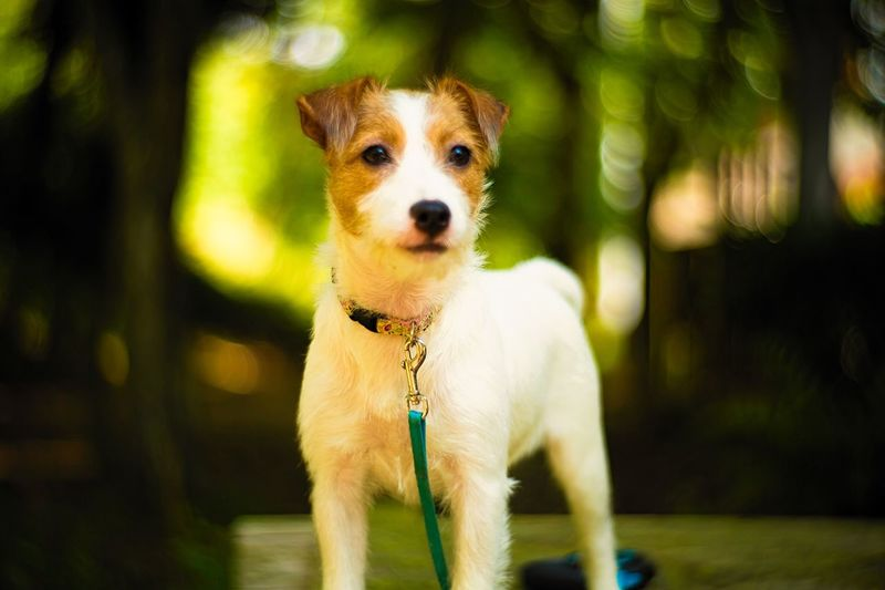 Forest Woods Bokeh Photography Bokeh Photography One Animal Animal Themes Dog Canine Mammal Animal Pets Domestic Domestic Animals Looking At Camera Portrait Vertebrate Focus On Foreground Pet Collar Collar No People Day Nature Pet Leash Leash Looking At Camera Nature Outdoors Jack Russell Terrier