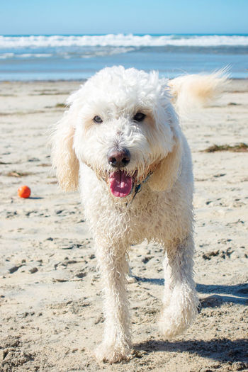 Goldendoodle at the beach