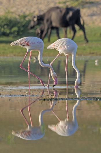 Bird drinking water in a lake