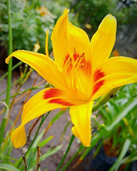 Hemerocállis Bonanza Redblooming Daylily Daylily Heirloom Rich Golden Yellow Flowers Perennial Flowers,Plants & Garden Purple Purple Eye