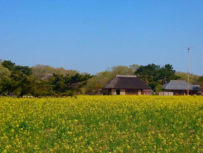 日本の春 古民家 菜の花 黄色 茅葺き屋根