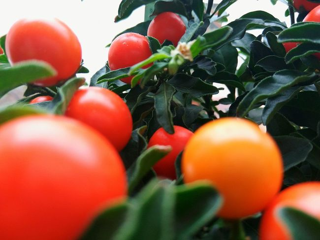 Selective Focus Red Food And Drink Close-up Vegetable Food Freshness Healthy Eating Ripe Variation Plant Tomato Abundance Retail  Vibrant Color Group Of Objects Retail Display Merchandise Collection Nature