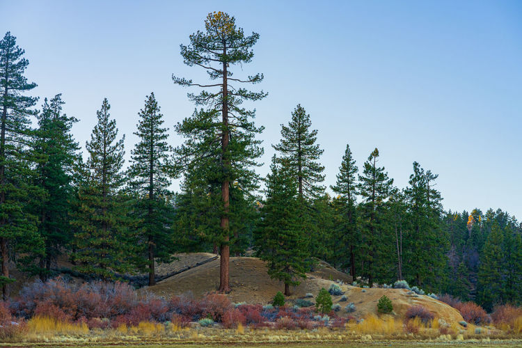 Pine trees in forest against sky during autumn