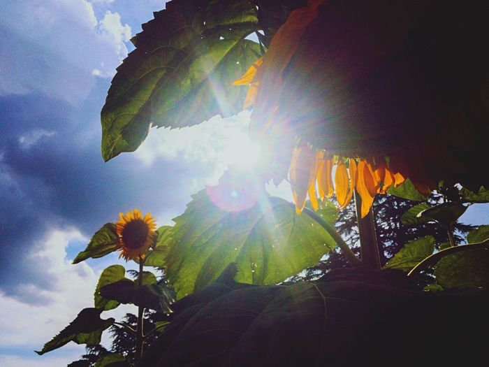 Outdoors Cloud - Sky Summer ☀ Sunflower Backlight